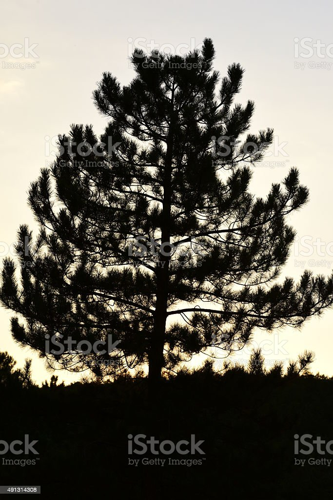 Silhouette of a pine tree stock photo