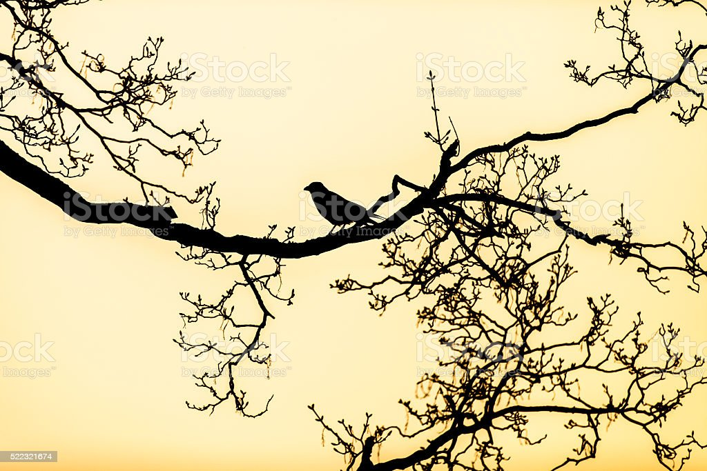 silhouette of a raven perched on a tree bare branche stock photo