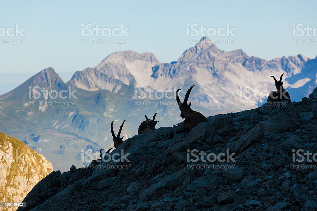 silhouette of a resting ibex in the lechtaler alps stock photo