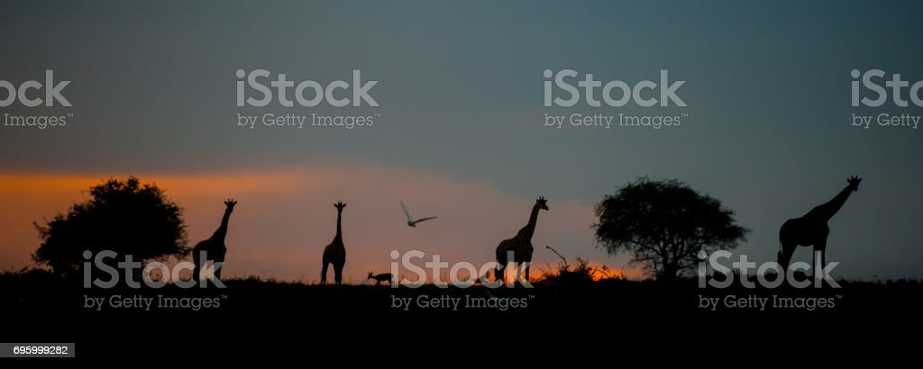 Silhouette of a tower of giraffes stock photo