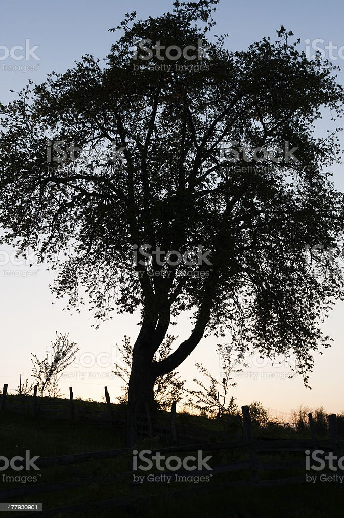 Silhouette of a tree in the sunset, tight crop stock photo