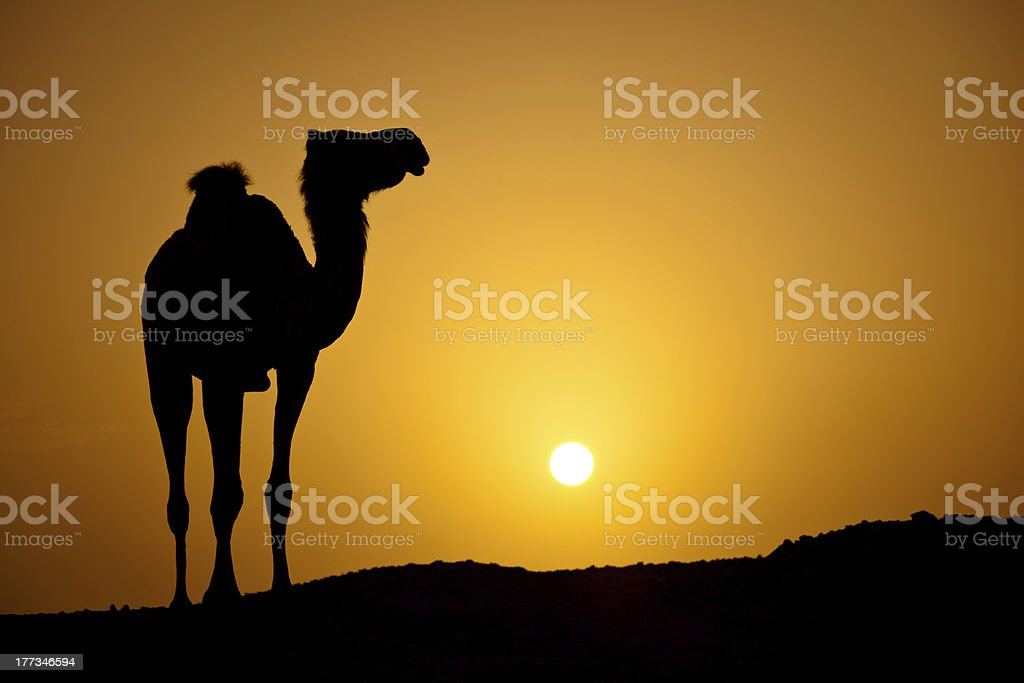 Silhouette of a wild camel at sunset royalty-free stock photo