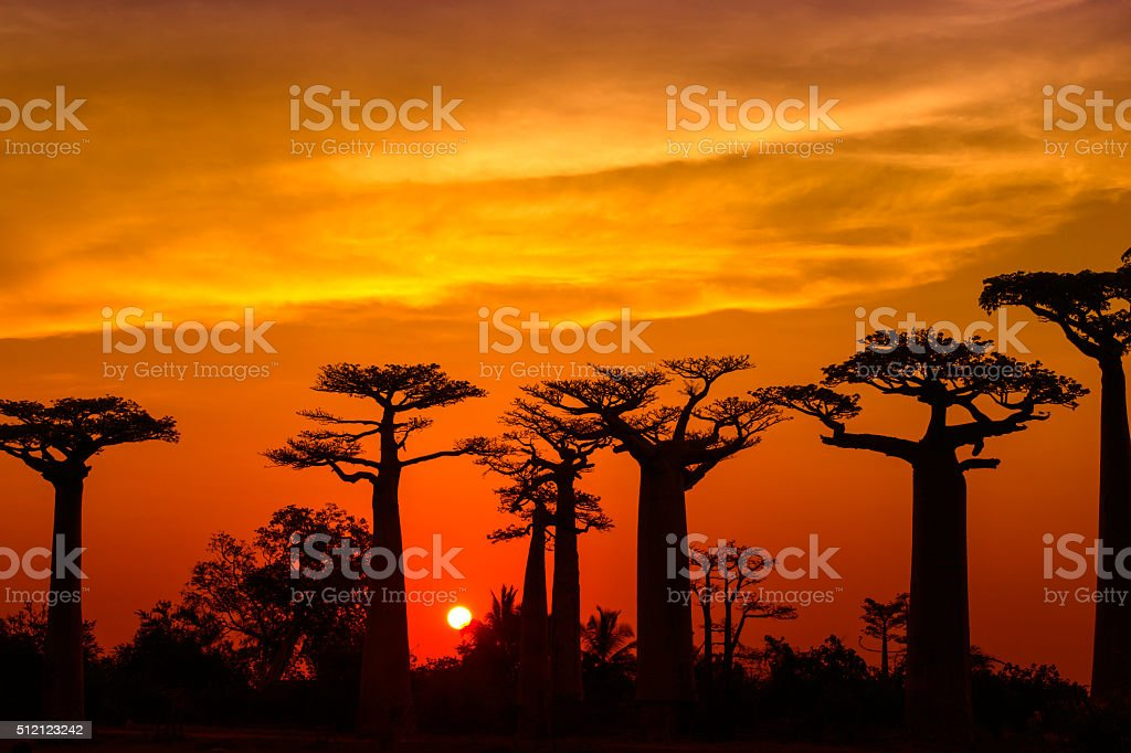 Silhouette of Baobab trees in Madagascar stock photo