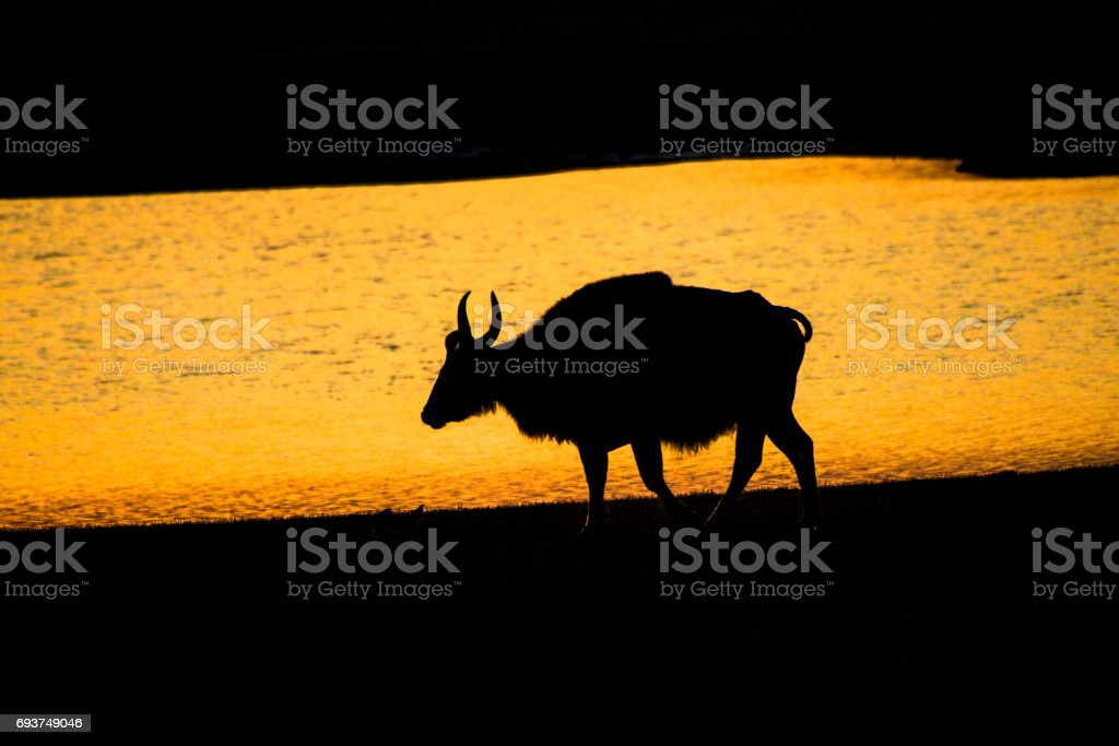 Silhouette of bison, Sunset with indian bison, gaur stock photo