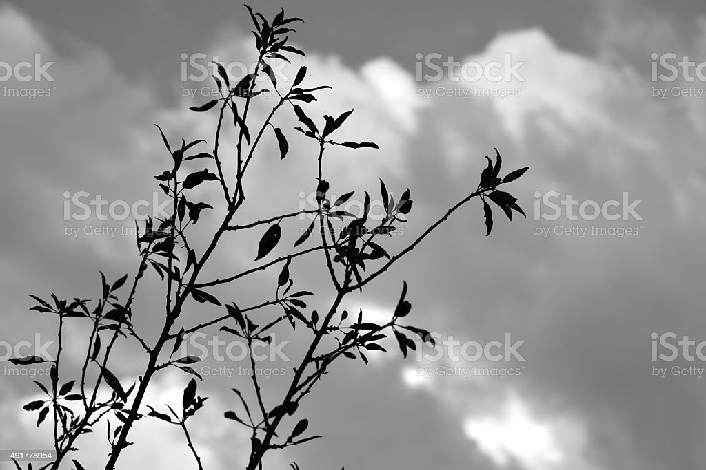 Silhouette of branches and leaves - Cloudy weather stock photo