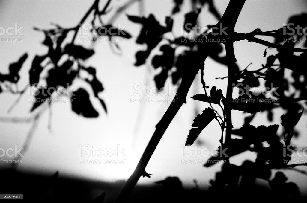 Silhouette of Branches and Leaves stock photo