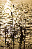 Silhouette of Bullrushes by a lake.