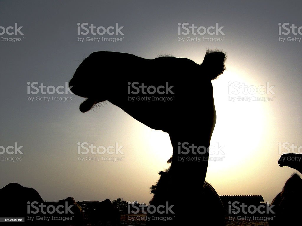 Silhouette of Camel Head at sunset royalty-free stock photo