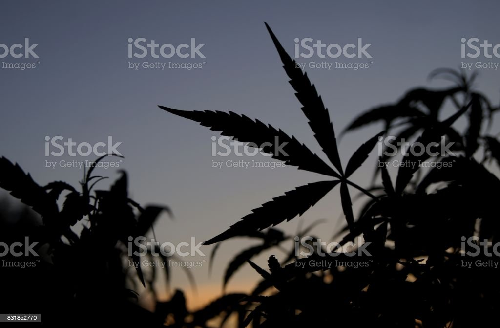 Silhouette of Cannabis Sativa Leaves Against Sky During Sunset stock photo