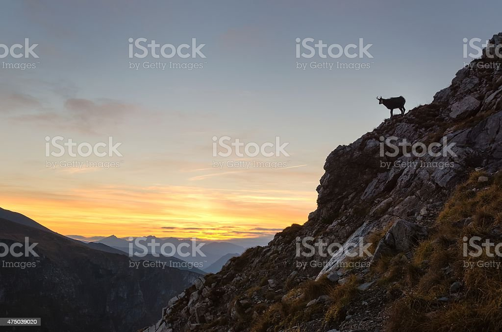Silhouette of chamois in mountains. stock photo