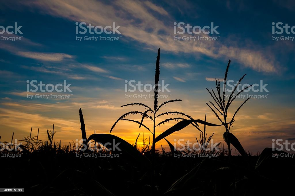 Silhouette of corn at sunset stock photo
