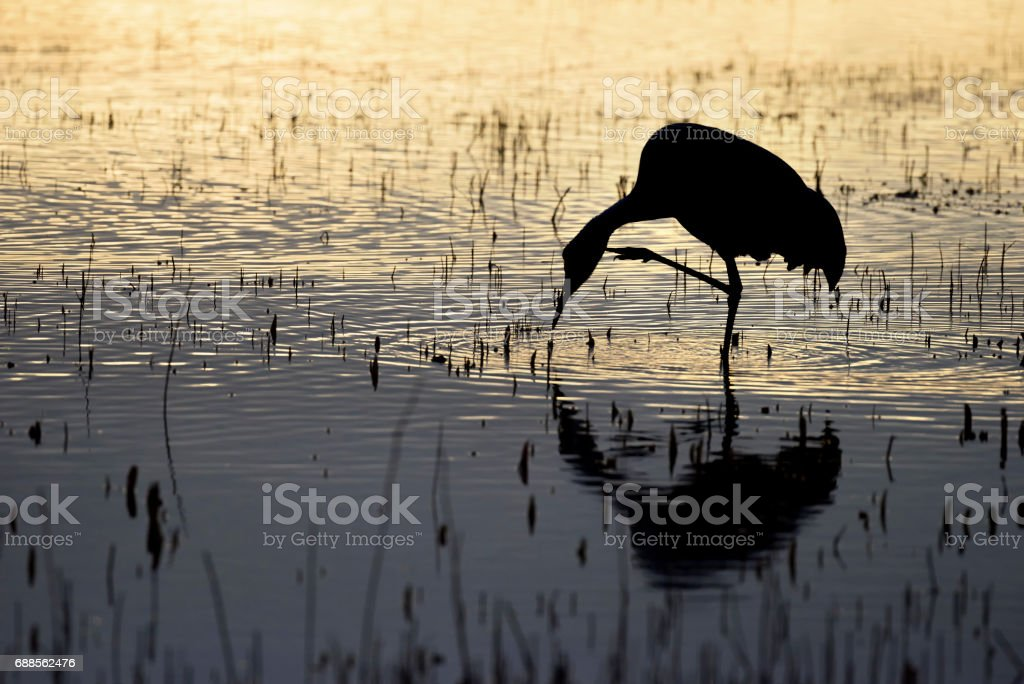 Silhouette of Crane at Sunrise on One Leg Scratching Neck stock photo