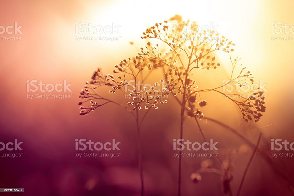 Silhouette of dry wildflower in meadow during sunrise stock photo