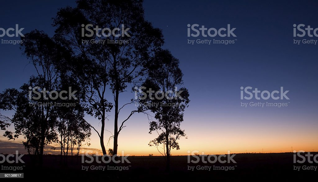 Silhouette of Eucalypts at Twilight royalty-free stock photo