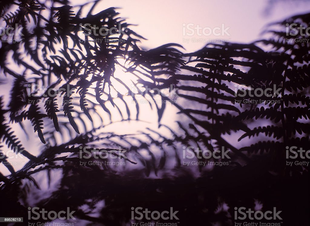 Silhouette of Fern at dawn royalty-free stock photo