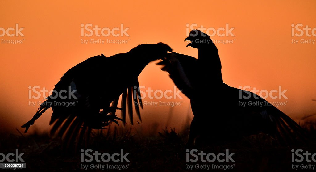 Silhouette of Fighting Black grouses stock photo