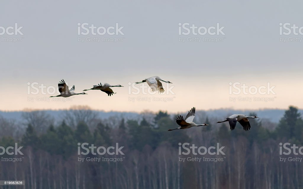 Silhouette of five flying crane birds, forest in background stock photo