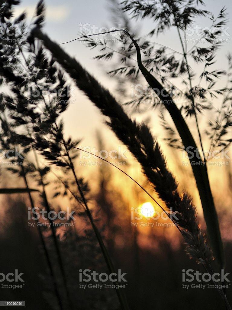 Sylwetka Trawa o zachodzie słońca zbiór zdjęć royalty-free