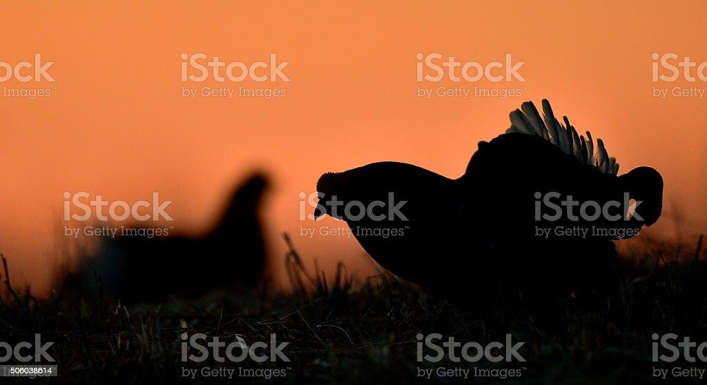 Silhouette of Lekking Black Grouse stock photo
