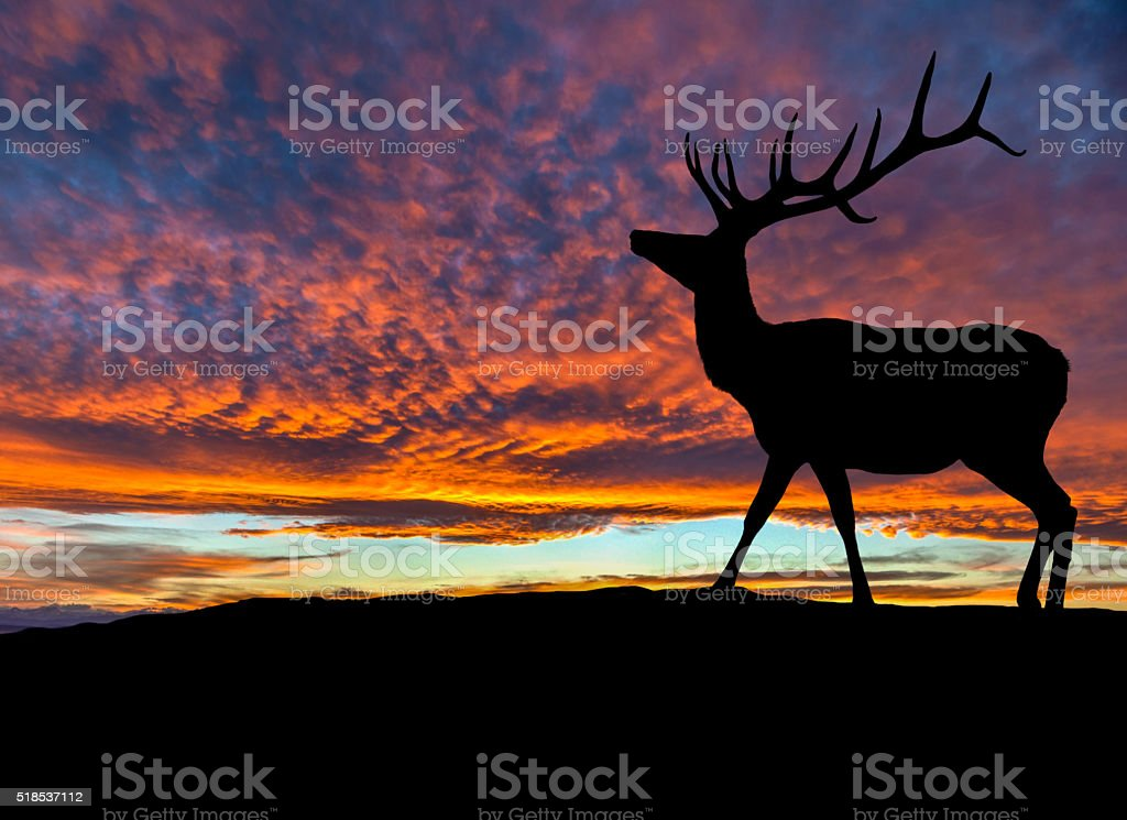 Silhouette of Red Deer Elk at Sunset stock photo