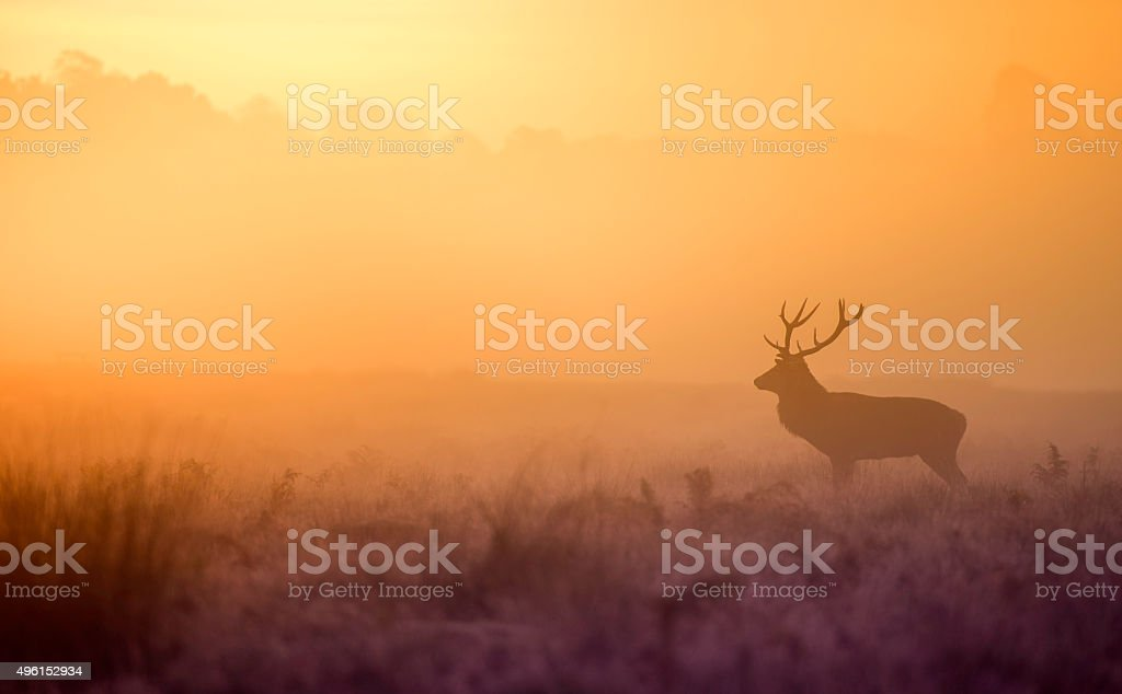 Silhouette of red deer stag at dawn stock photo