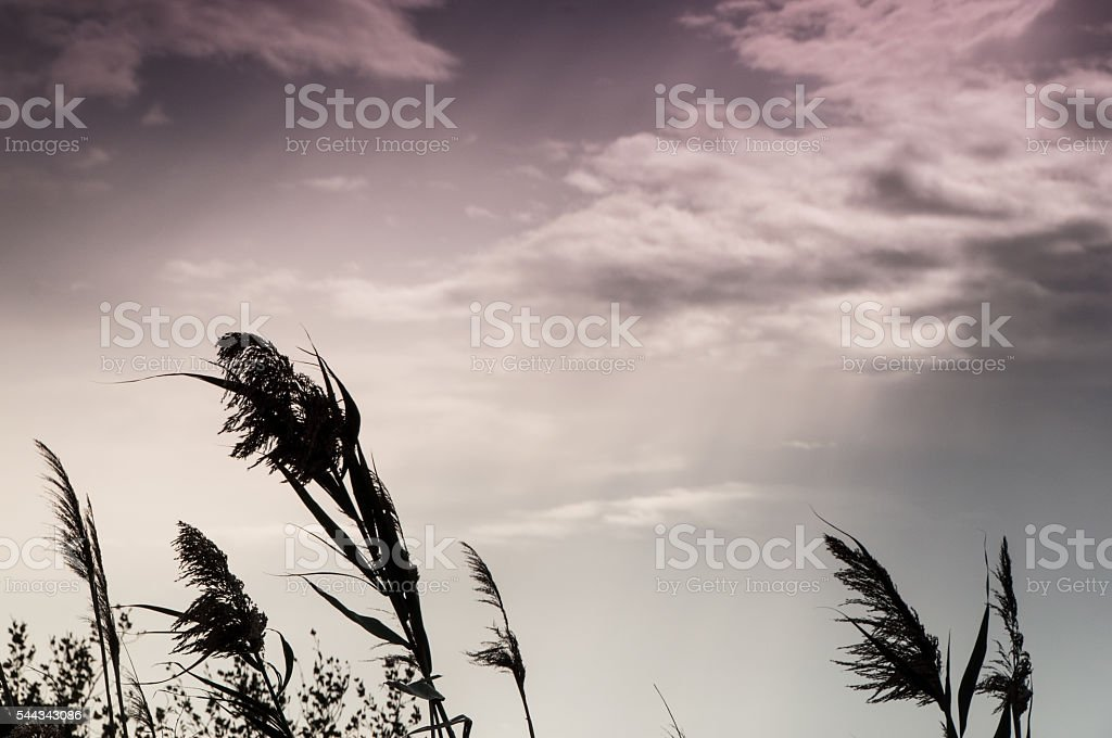 Silhouette of reed at twilight stock photo
