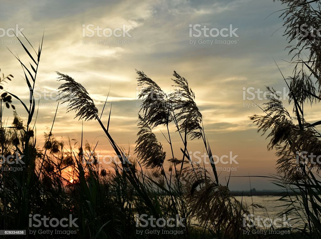Silhouette of Reed flowers swaying in the wind stock photo