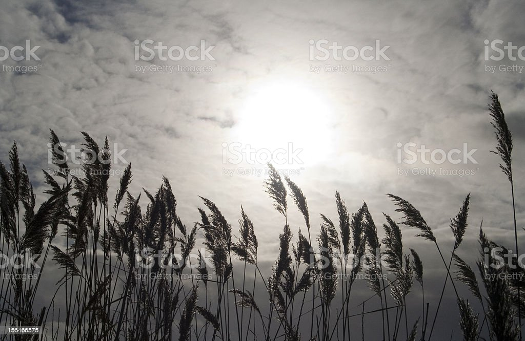 Silhouette of reeds royalty-free stock photo