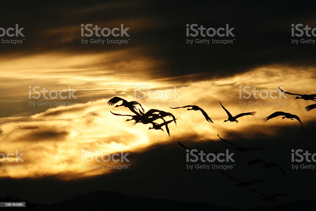 Silhouette of Sandhill Cranes Flying in the Sunset royalty-free stock photo
