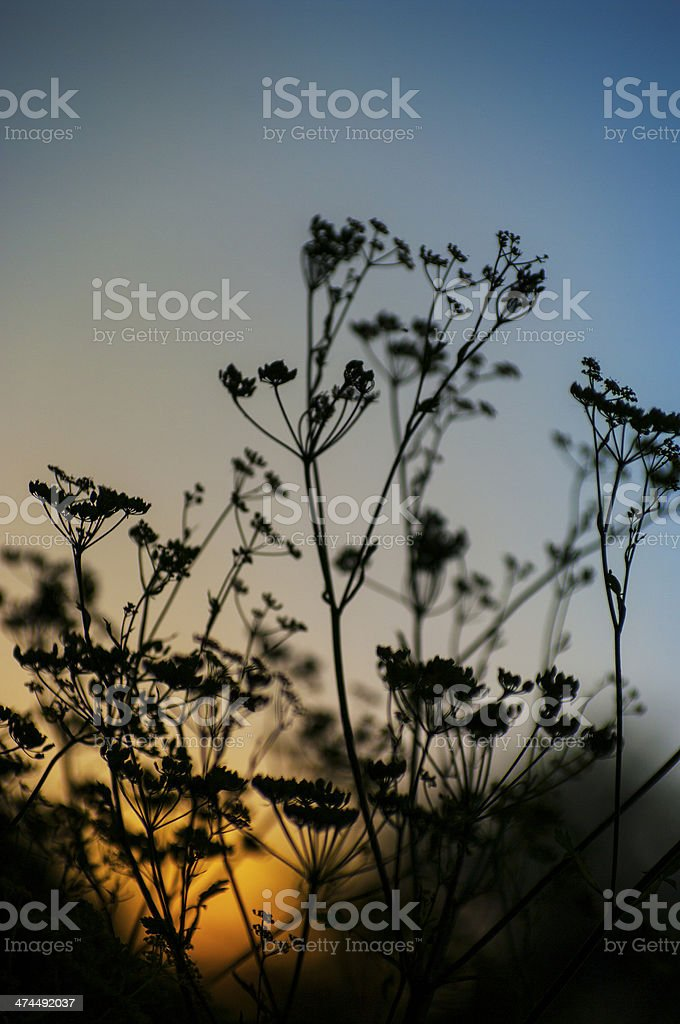 Silhouette of single chervil-Anthriscus cerefolium on blue yellow background royalty-free stock photo