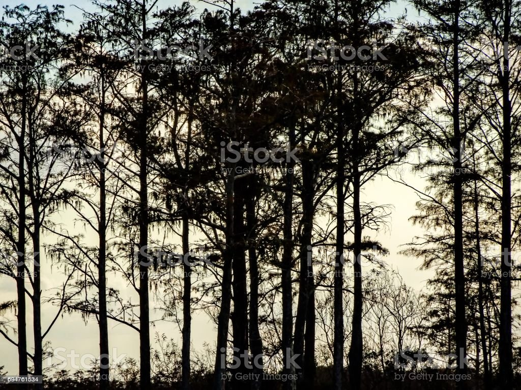 silhouette of trees at sunset in swamp stock photo