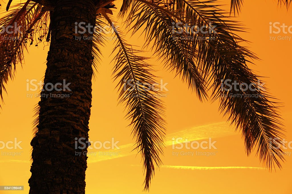 Silhouette of tropic palm tree against against orange sunset sky stock photo
