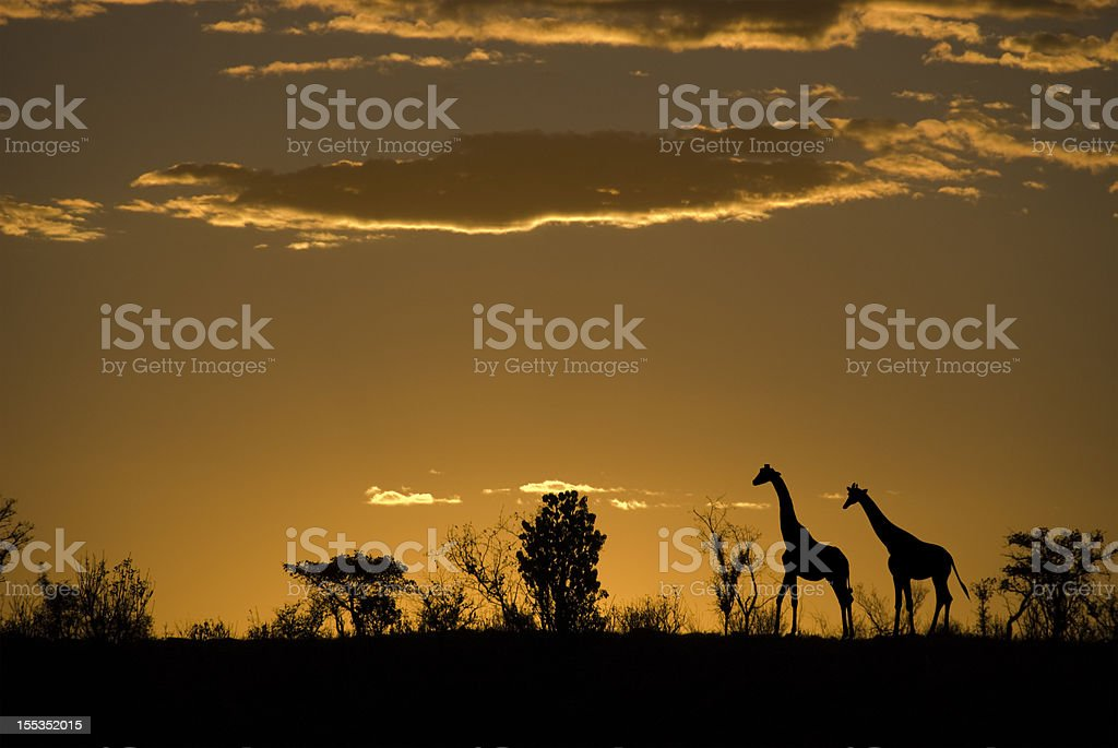 Silhouette of two giraffes at an african sunset stock photo