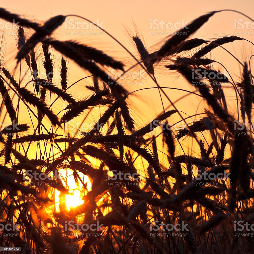 Silhouette of Wheat at the sunset royalty-free stock photo