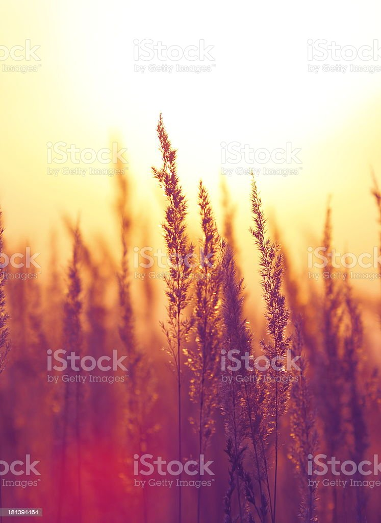 Silhouette of Wildflowers During Sunset royalty-free stock photo