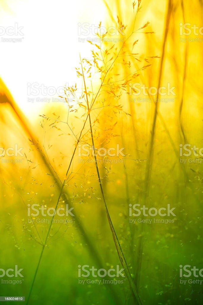 Silhouette of wildflowers in meadow during sunrise or sunset royalty-free stock photo