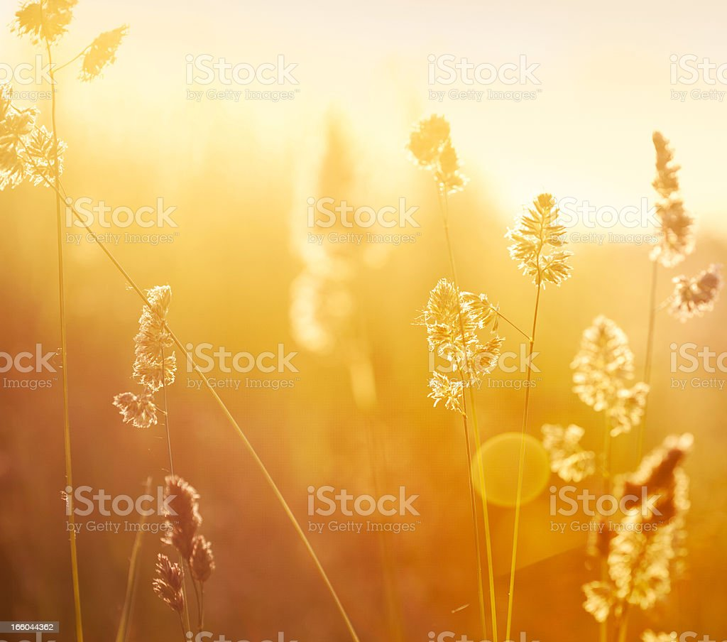 Silhouette of wildflowers in meadow during sunrise stock photo
