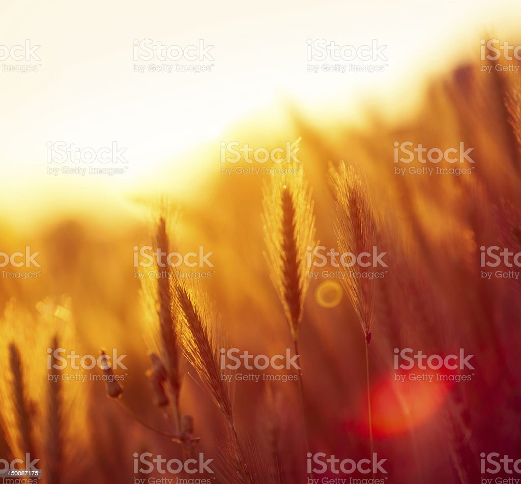 Silhouette of wildflowers in meadow during sunrise royalty-free stock photo
