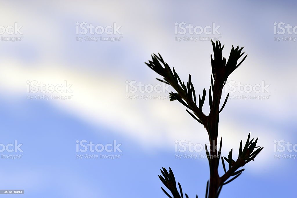 Silhouette of young pine branch and needles stock photo