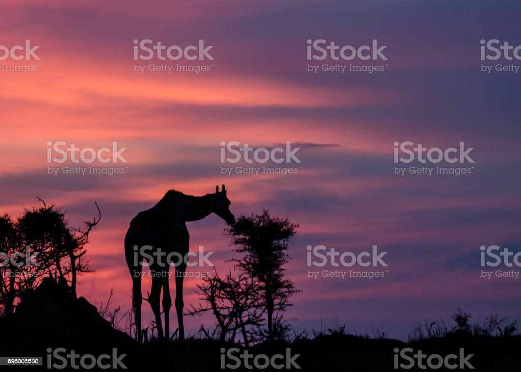 Silhouette Rothschild giraffe stock photo