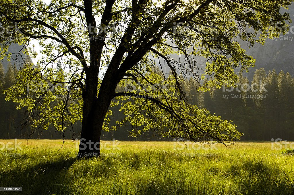 Silhouette tree and meadow at yosemite royalty-free stock photo