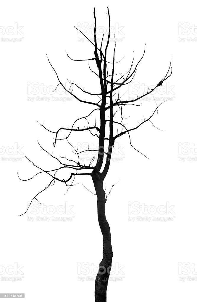 Silhouette tree single on white background stock photo