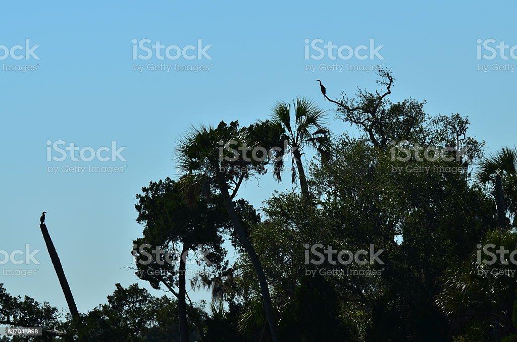 Silhouetted anhinga and cormorant birds on treetops stock photo