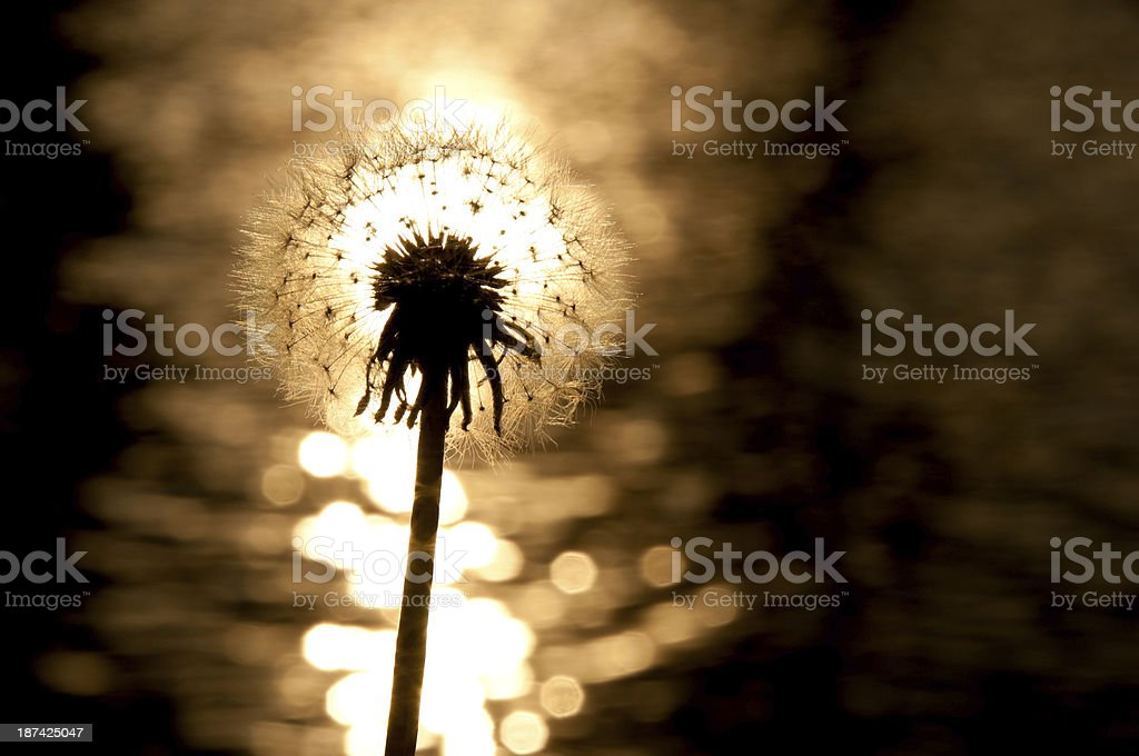 Silhouetted Dandelion royalty-free stock photo