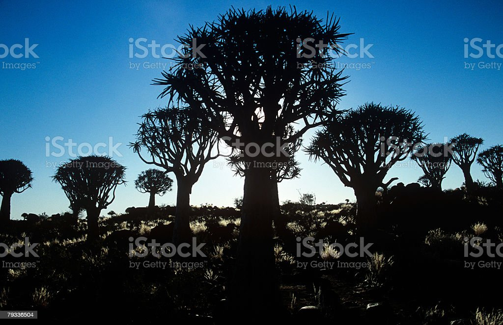 Silhouetted quiver trees stock photo