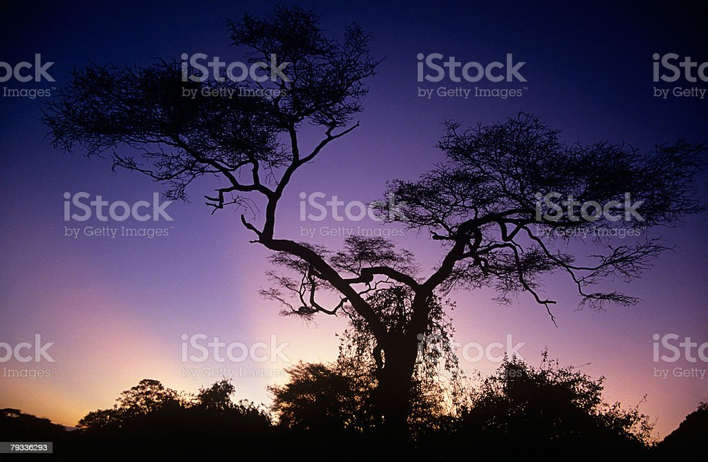 Silhouetted tree at sunset royalty-free stock photo