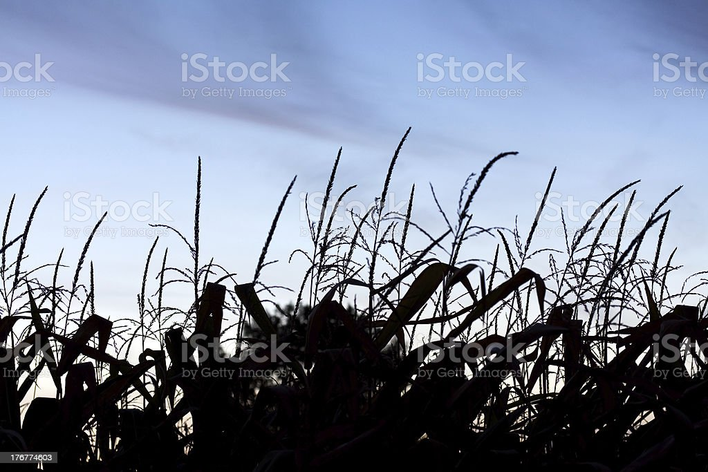 Silhouettes in the cornfield royalty-free stock photo