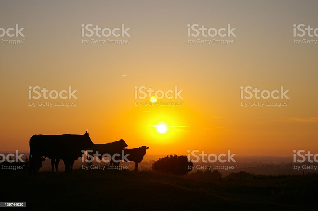 Silhouettes of cattle standing in the sunset stock photo