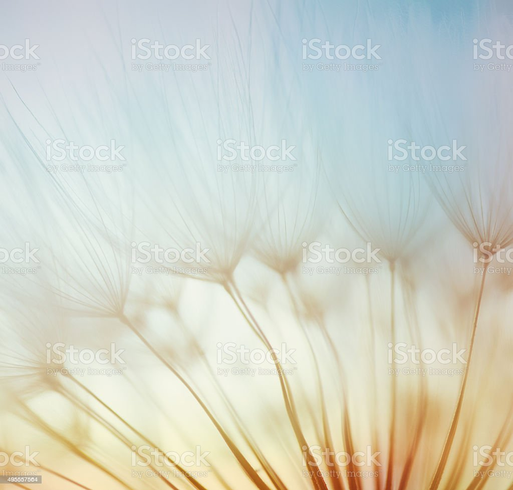 Silhouettes of dandelion seeds floating on the breeze stock photo