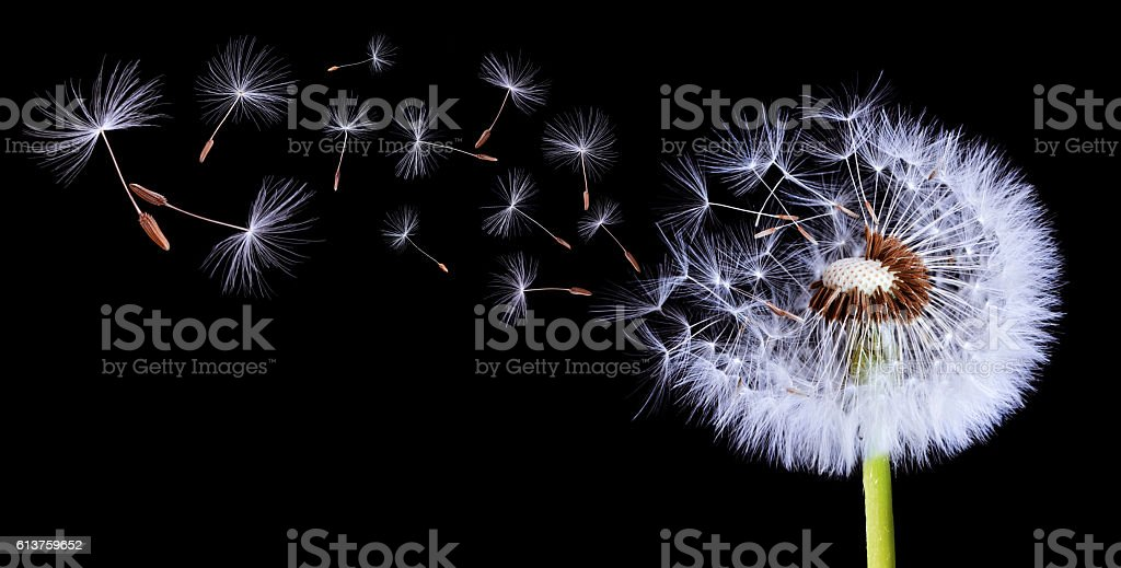 Silhouettes Of Dandelions stock photo